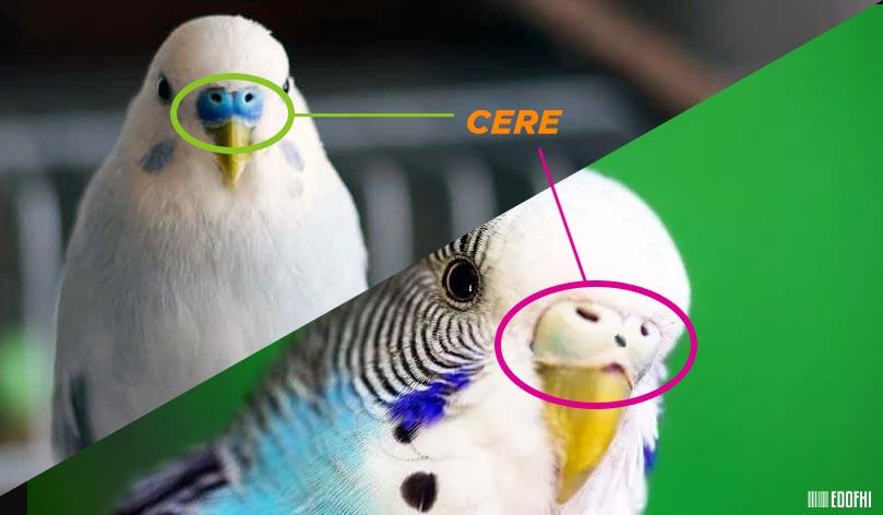 Cere Nedir? Muhabbet Kuşu Ceresi
