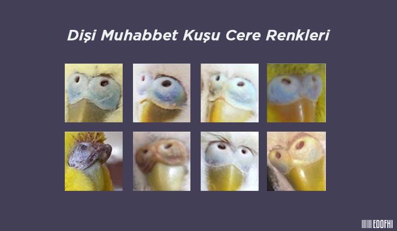 Dişi Muhabbet Kuşu Cinsiyet Ayrımı - Cere Renkleri